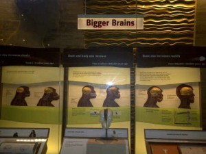 "Image 2: author's photograph of the Evolution of the Human Brain portion from the Smithsonian Exhibit, Human Evolution, ""What Does It Mean to Be Human?"