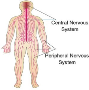 The nervous system is made up the brain, spinal cord (these two together are referred to as the Central Nervous System) and Peripheral Nervous System.